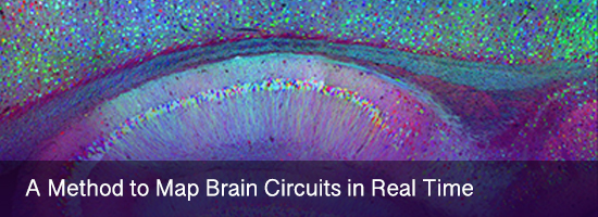 A Method to Map Brain Circuits in Real Time